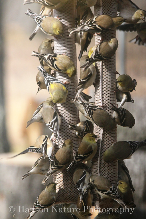 American Goldfinches in winter plumage