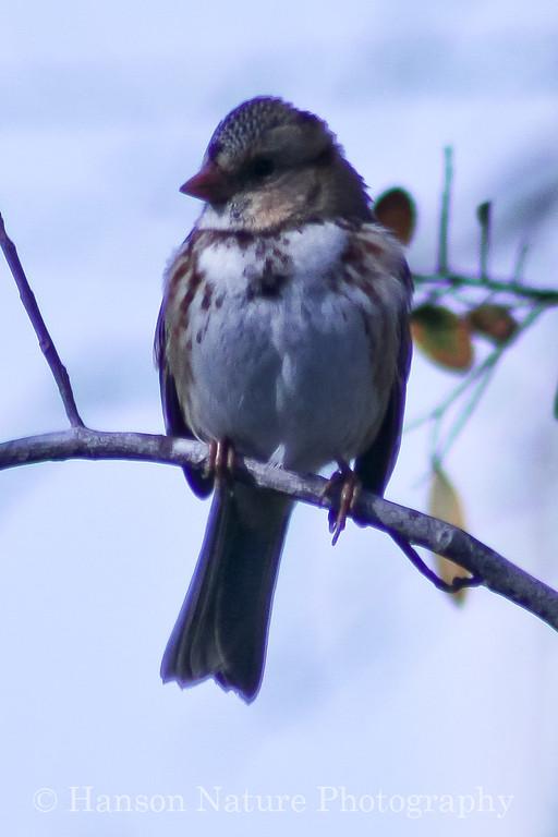 Harris's Sparrow (Juvenile)
