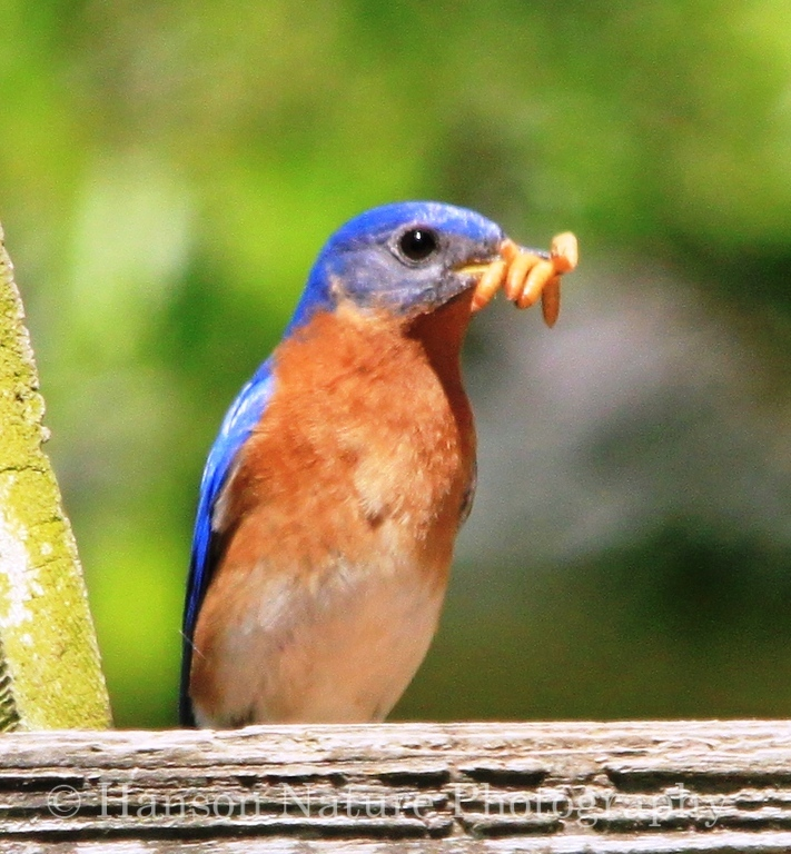 Eastern Bluebird Male with Mealy Worms