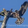 Mississippi Kite Chick 8/24/13