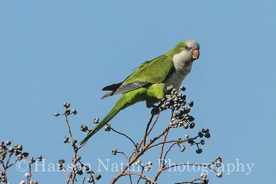 Monk Parakeet, San Leon, Tx