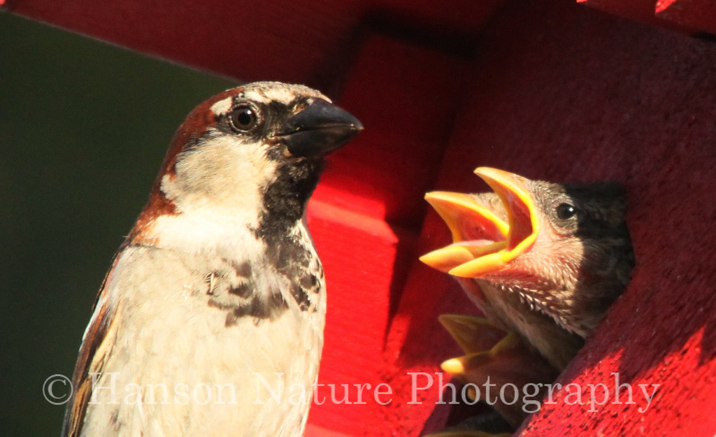 Male House Sparrow feeing chicks