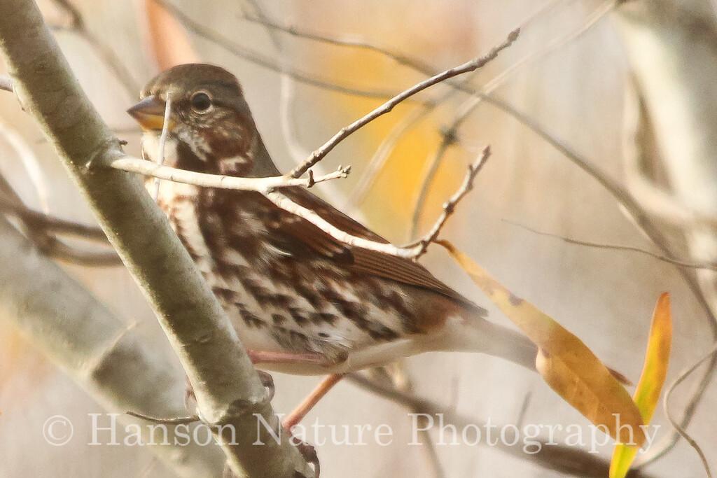 Fox Sparrow (Red or iliaca sub species)