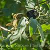 Crimson-collared Grosbeak - Laguna Atascosa - eating Potato Tree berries