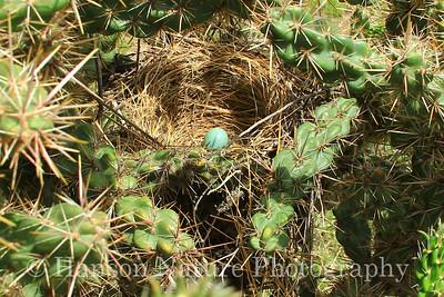 Curve-billed Thrasher nest