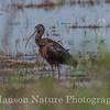 Glossy Ibis - ANWR