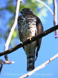 Double-toothed Kite taken in High Island Texas 5-4-11, Accepted by Texas Bird Record Committee May 2012 as New State Record and the ABA in late 2012