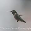 Calliope Hummingbird - Chambers Co., Tx