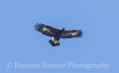 Golden Eagle - Smith Point Tower