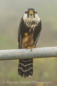 Aplomado Falcon; Laguna Atascosa NWR