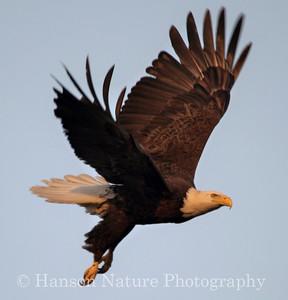 Bald Eagle in Baytown Texas