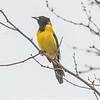 Audubon's Oriole - Salineno