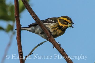 Townsend's Warbler - Leonabell Turnbell Birding Center Port Aransas