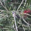 Calliope Humingbird - Chambers Co., Tx