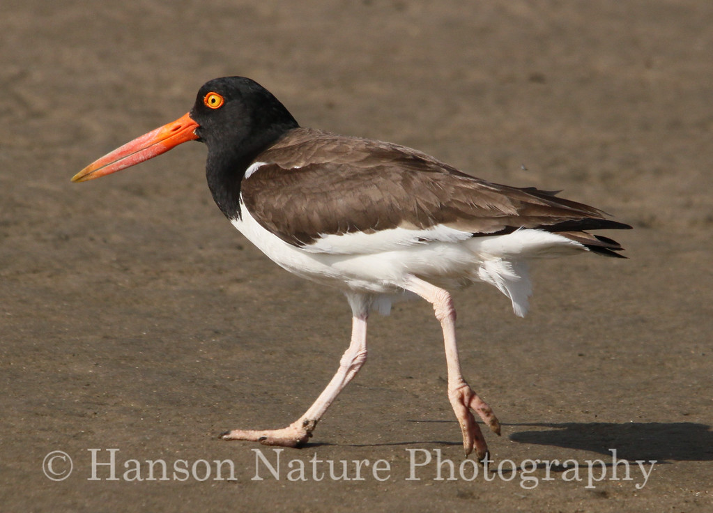 American Oystercatcher at Rollover Pass