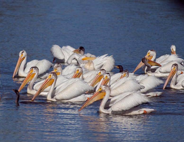 American White Pelicans with 2 Double Crested Cormorants