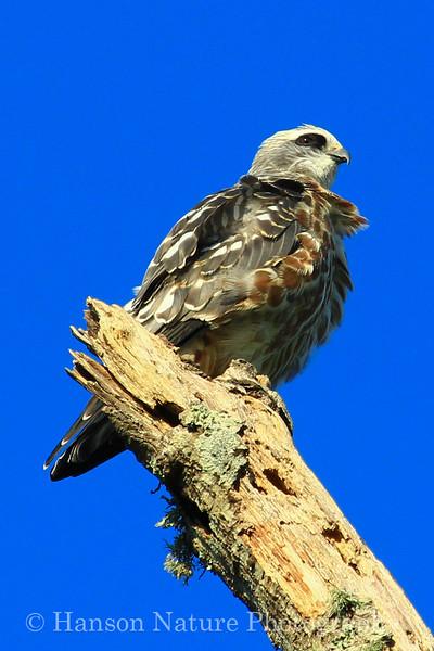 Mississippi Kite chick/juvenile 8/31/13
