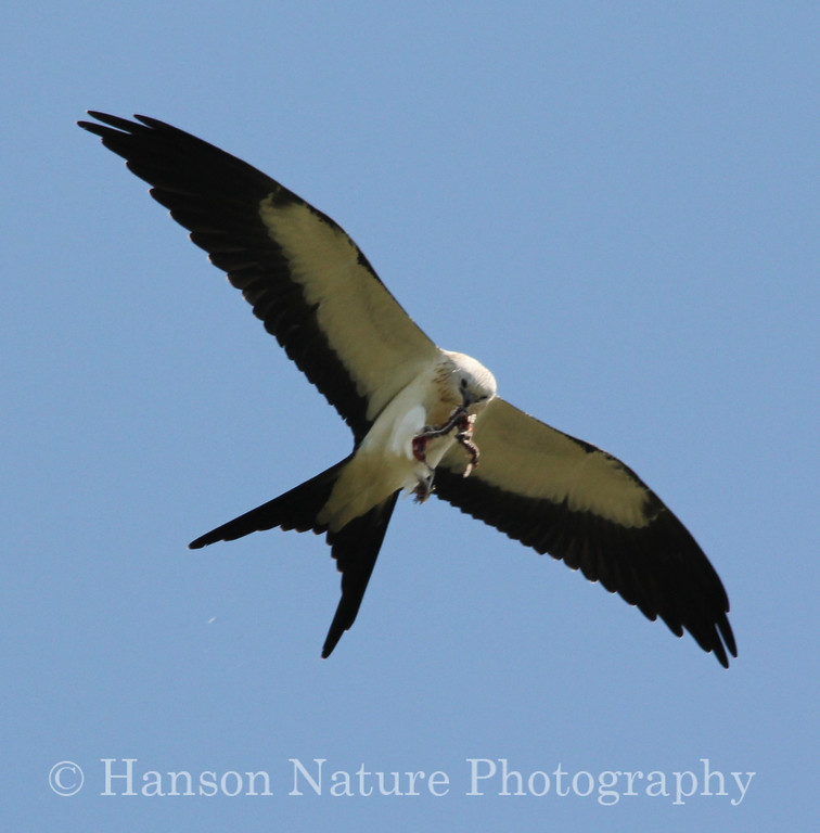 Swallow-tailed Kite Adult feeding on a snake while flying
