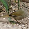 Olive Sparrow; Salineno