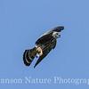 Mississippi Kite Chick 8/22/13