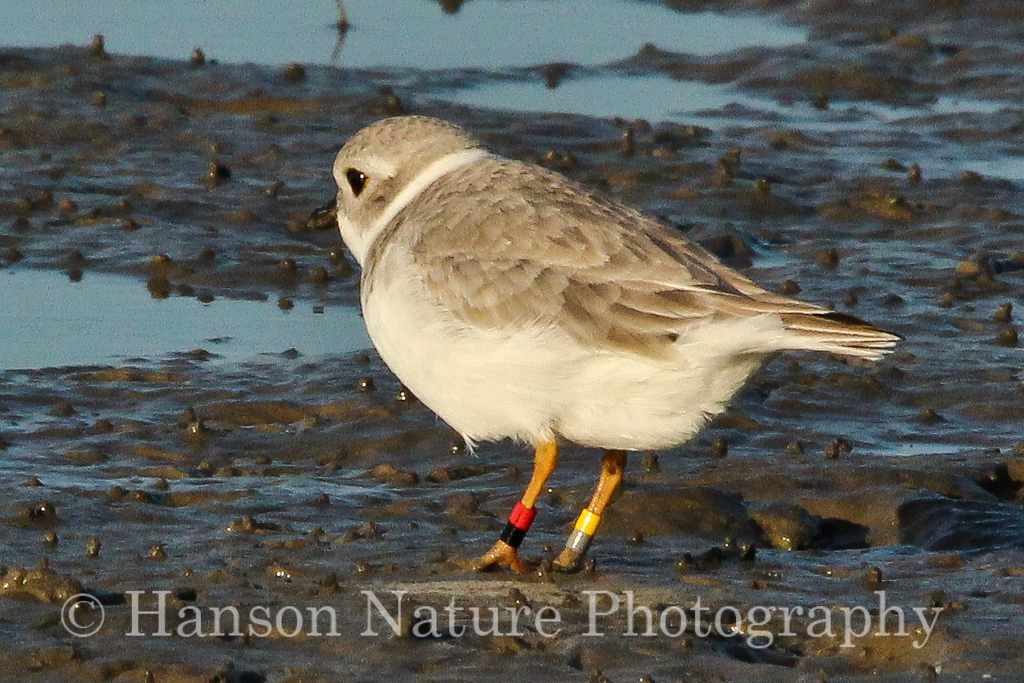 Piping Plover (The bird in photo 342 was banded as a chick at a mine near Ashland, NE on 20 July 2009.)