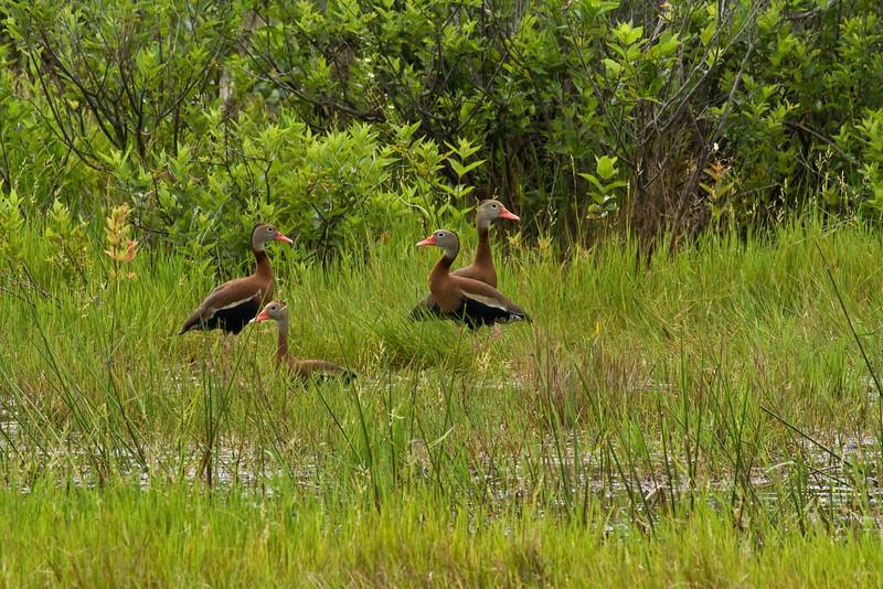 Black Bellied Tree Duck Aransas National Wildlife Refuge