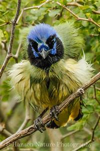 Green Jay; Bentsen State Park