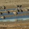 Common Crane - Muleshoe National Wildlife Refuge