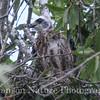 Mississippi Kite chick 8/4/13
