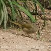 Olive Sparrow- Bentson State Park
