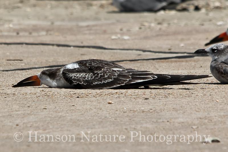 Black Skimmer First year chick