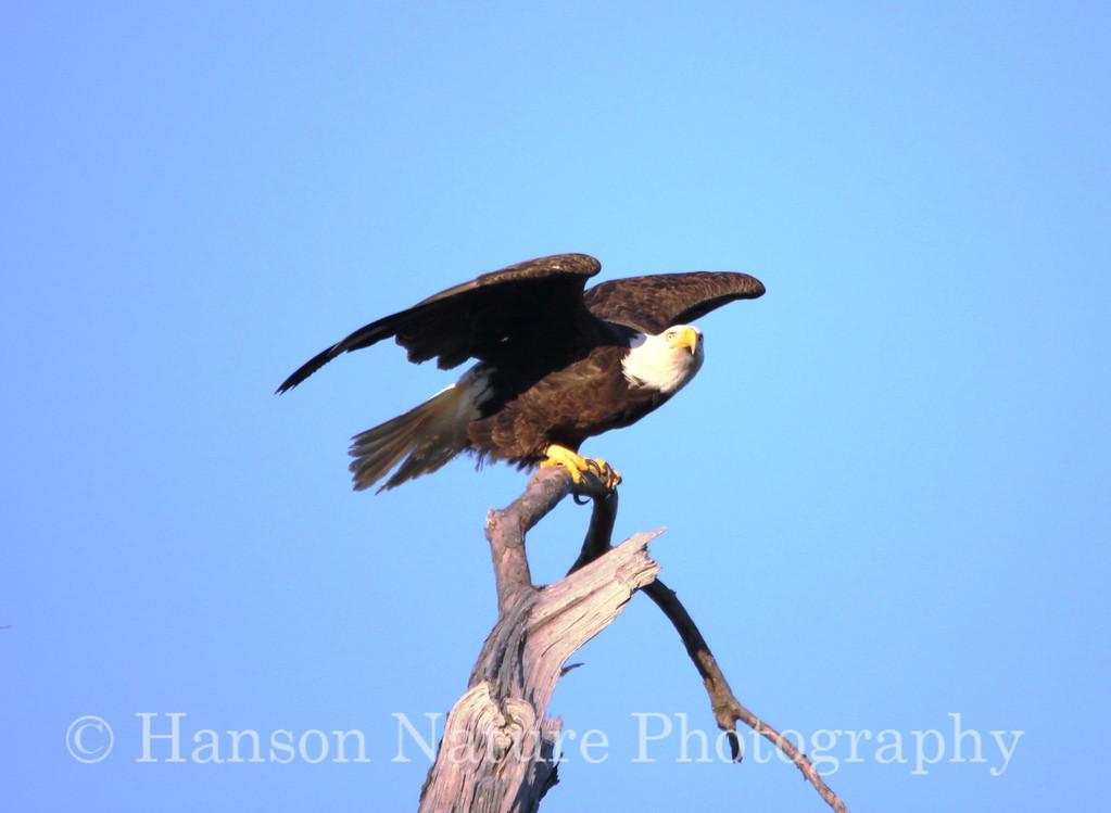 Baytown Bald Eagle