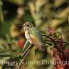 Calliope Hummingbird - David and Jan Hanson's House
