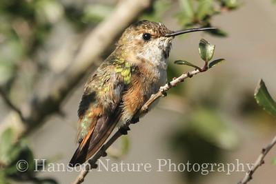 Rufous/Allen's Hummingbird - Private Residence