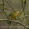 Prarie Warbler - Baytown Nature Center
