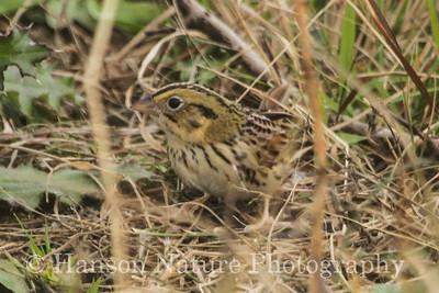 Henslow's Sparrow - Nash Prairie