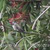 Calliope Hummingbird - Chambers Co. Tx