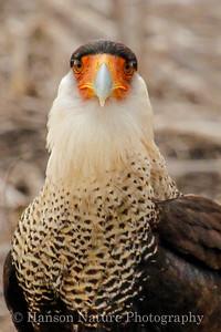 Crested Caracara, Laguna Atascosa NWF