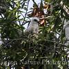 Mississippi Kite chick 7/25/13