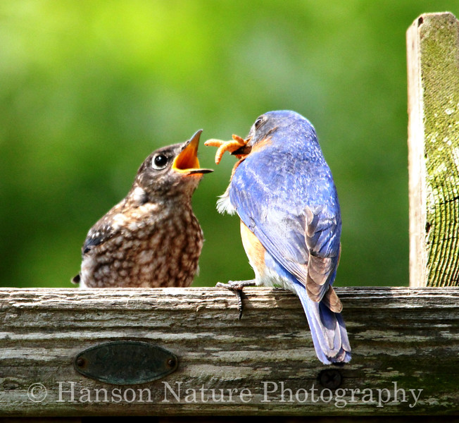 Male Eastern Bluebird Feeding Chick
