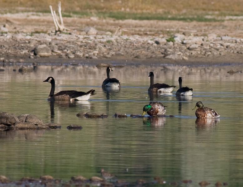 Mallard Pair w/ Canada Geese
