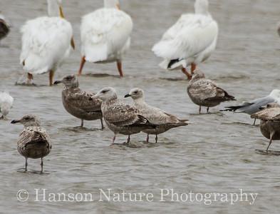 First Winter Thayer's Gull sitting beside a Herring Gull- Sand/shell bar off of Cedar Point, Trinity Bay