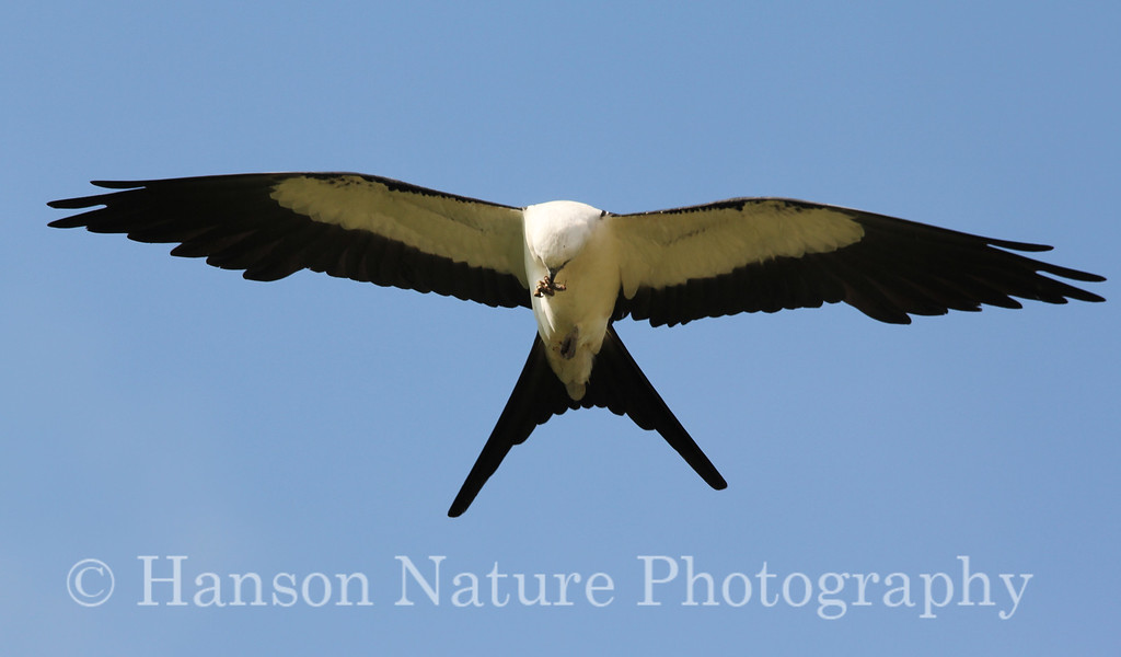Swallow-tailed Kite Adult feeding on a bug while flying