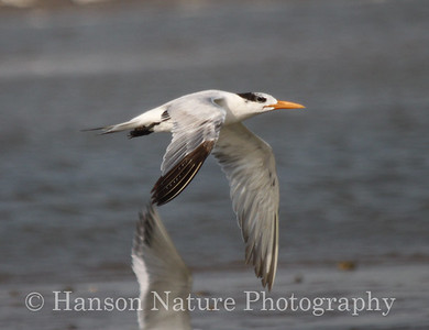 Least Tern at Rollover Pass