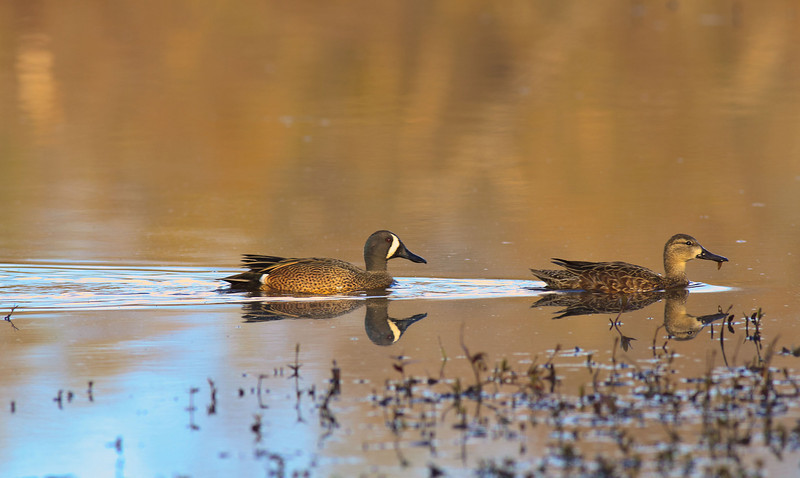 Blue Wing Teal