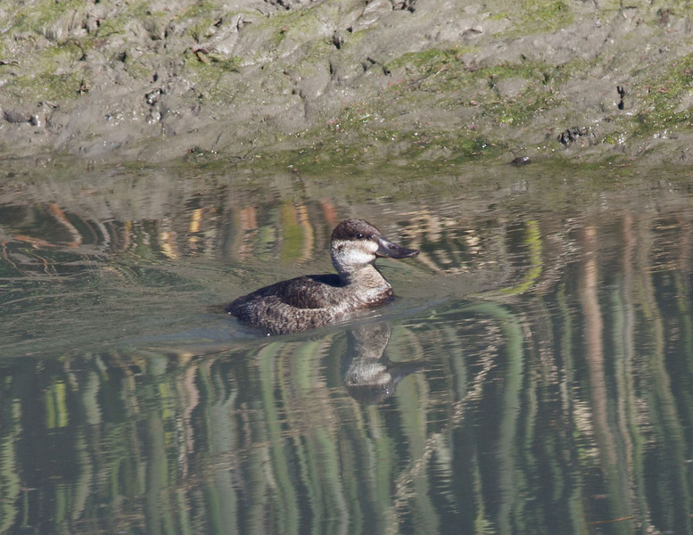 Female Ruddy Duck Richland Creek WMA
