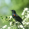 Red-winged Blackbird in Blooming Pyrocantha  Bush
