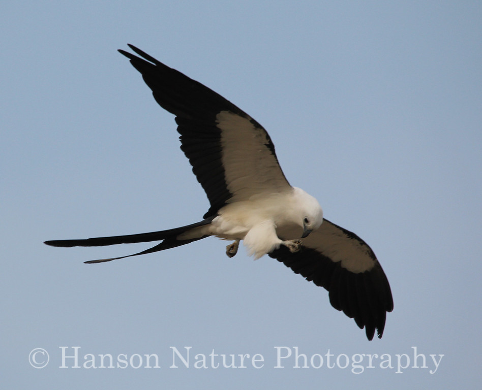 Swallow-tailed Kite Adult feeding while flying