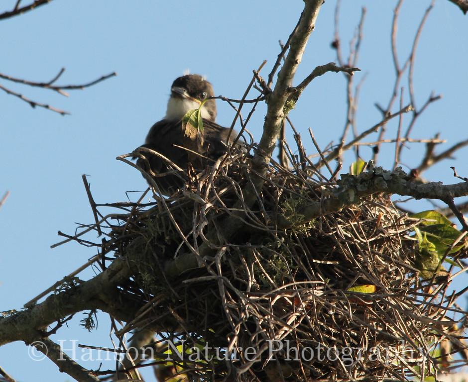 Eastern Kingbird baby