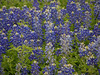 I've not noticed the lighter-colored bluebonnets before. They were scattered all throughout the area.